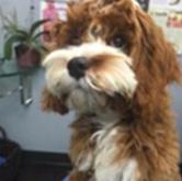 Sadie Therapy Dog